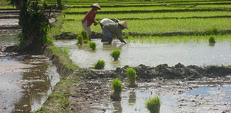 Reisanbau in Indonesien - kann die dortige Landwirtschaft verstärkt auf Bio setzen? Foto: V. Schreer