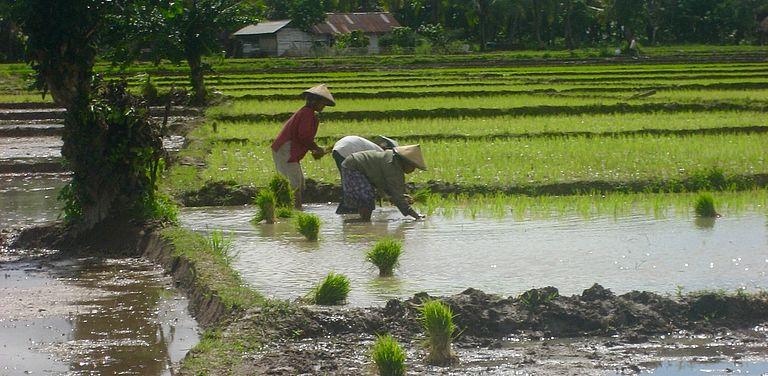 Reisbauern bei der Arbeit in Indonesien, Foto: V. Schreer